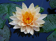 Raymond Salani Iii Photo Prints - Waterlily After a Shower Print by Raymond Salani III