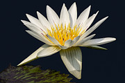 Pad Framed Prints - Waterlily and Pad Framed Print by Susan Candelario