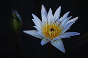 Nymphaea Framed Prints - Waterlily Dawn Number One Framed Print by Heather Kirk