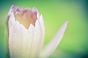 Waterlily Photos - Waterlily Dreams 13 by Priya Ghose