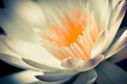 Waterlily Art - Waterlily Dreams 7 by Priya Ghose
