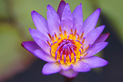 Fir Mamat - Waterlily