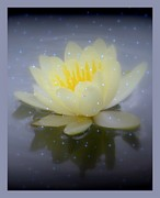 Kim Doran - Waterlily Magic