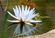 Judith Meintjes - Waterlily Reflection