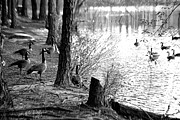 James Potts - Waterside Geese in Black...