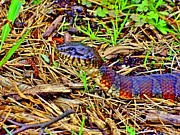 Rick Todaro - Watersnake In Nature