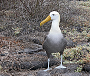 Waved Albatross Photos - Waved Albatross Diomeda irrorata by Liz Leyden