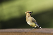 Cedar Waxwing Framed Prints - Waxwing at the Park Framed Print by Thomas Young