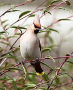 Bird Prints Photos - Waxwing by Grant Glendinning