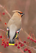 Bohemian Photos - Waxwing in winter by Mircea Costina Photography