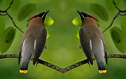 Wing Mirror Photos - Waxwing Love by Inspired Nature Photography By Shelley Myke