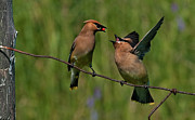 Bonding Framed Prints - Waxwing Love.. Framed Print by Nina Stavlund