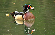 Wood Duck Photos - Wayward Feather by Fraida Gutovich