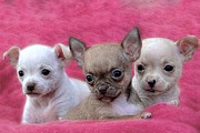 Puppies Photo Originals - We Three by Carolyn Fletcher