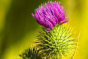 Ano Nuevo Posters - Wearing A Purple Crown - Bull Thistle Poster by Mark E Tisdale