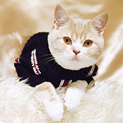 British Shorthair Art - Wearing a sweater by Aiolos Greece Collection