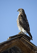 Red Tail Hawk Art - Weather Vane by Loree Johnson