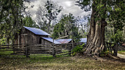 Lynn Palmer Prints - Weathered Cracker Barn and Gnarled Southern Red Cedar Print by Lynn Palmer
