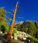 Blue Photos - Weathered Sierra Nevada Tree by Scott McGuire