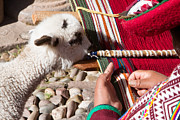 Peruvian Llama Prints - Weaver and Alpaca Lamb Cusco Peru Print by Dan Hartford