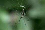 Ramabhadran Thirupattur - Web Site  - Orchard Spider