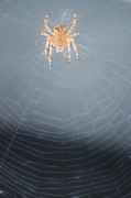 Spider And Fly Prints - Web Work Print by Melanie Lankford Photography
