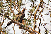 Wedge-tail Framed Prints - Wedge-Tail Eagle Framed Print by Douglas Barnard