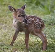 Wee Little Bambi Print by Tracey Levine