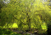 Addie Hocynec Art Photos - Weeping Katsura Tree by Addie Hocynec