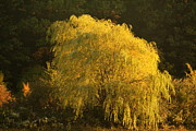 Fall Photos Framed Prints - Weeping Willow Framed Print by Amanda Kiplinger