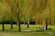 Park Scene Digital Art Prints - Weeping Willow Tree Landscape Print by Carol F Austin