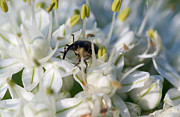Beetle Photos - Weevil Among the Stamens 2 by Douglas Barnett