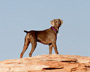 Powell River Posters - Weimaraner III - Lake Powell Poster by Julie Niemela