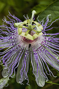 Passionflower Prints - Weird and Wonderful Passion Flower Wildflower Print by Kathy Clark