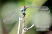 Dragonfly Eyes Prints - Welcome to My World Print by Carol Groenen