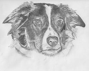 Charcoal Dog Drawing Drawings Posters - Welsh Border Collie Poster by Catherine Roberts