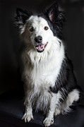 Collie Digital Art Posters - Welsh Border Collie Poster by Darren Wilkes