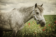 Angela Doelling AD DESIGN Photo and PhotoArt - Welsh Pony