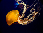 Tennessee Aquarium Posters - West Coast Sea Nettle 10 Poster by Douglas Barnett