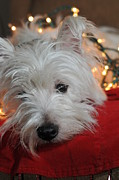 Westie Terrier Photos - West Highland Terrier by Catherine Reusch  Daley