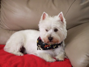 Dogs Mixed Media - West Highland White Terrier - Beni the Dog by Photography Moments - Sandi