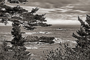 Pine Trees Art - West Quoddy State Park by Cindi Ressler