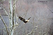 Carolyn Postelwait - West Virginia Bald Eagle...