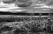 Fall Photos Prints - West Virginia Cornfield in Fall black and white Print by Kathleen K Parker