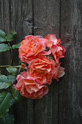 Plants From My Garden - Westerland Rose Wood Fence by Tom Wurl