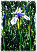 OLena Art - Western Blue Flag Iris