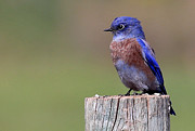 Marty Fancy - Western Bluebird