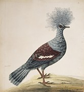 Science Photo Library - Western crowned pigeon,...