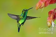 Anthony Mercieca - Western Emerald Hummingbird