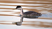 Stephen  Johnson - Western Grebe At...